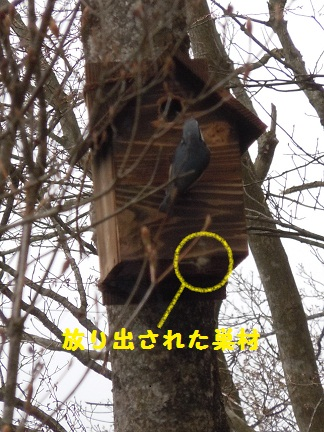 ゴジュウカラ巣作り.jpg