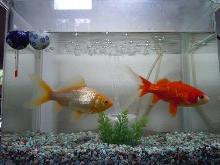 会話金魚4.jpg