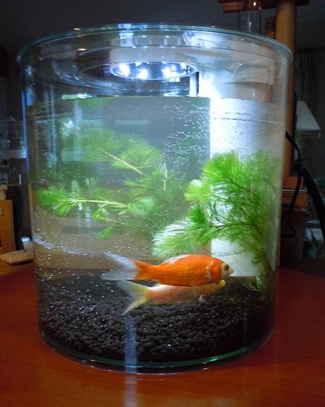 水槽入り金魚.jpg