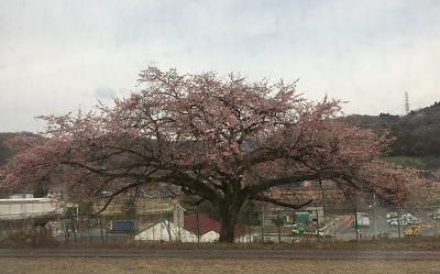 金太郎桜.jpg