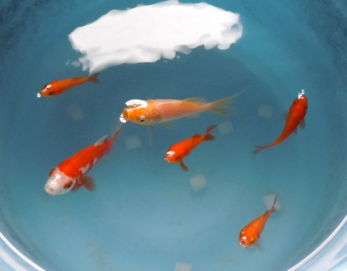 金魚6匹.jpg