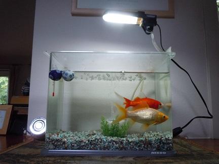金魚全体.jpg